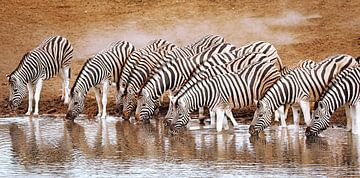 Zebra's in Etosha National Park, Namibië van W. Woyke