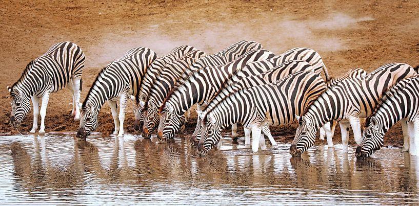 Zebras im Etosha-Nationalpark, Namibia von W. Woyke