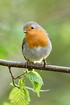 Robin ( Erithacus rubecula ) au printemps, a l'air un peu curieux, vert frais, faune, Europe.