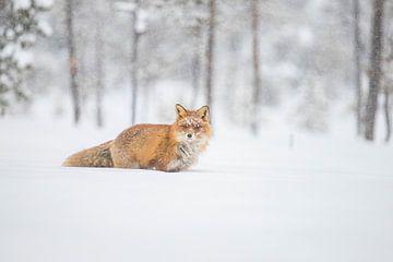 Red Fox, Vulpes vulpes  sur Gert Hilbink