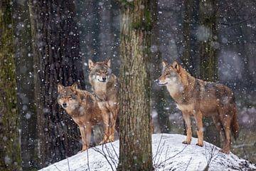 Wolfsrudel von gea strucks