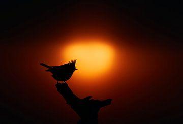 Kuifmees (Parus christatus) op een tak met ondergaande zon in Kuusamo, Finland. van AGAMI Photo Agency