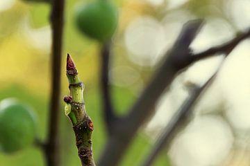 Vijgenboom knop van Natasja De lannooy