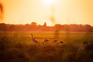 Ganzen in de polder bij zonsondergang
