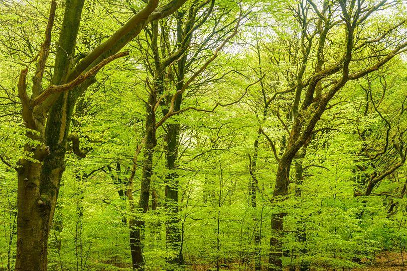 Groene Beuken in de lente van Sjoerd van der Wal