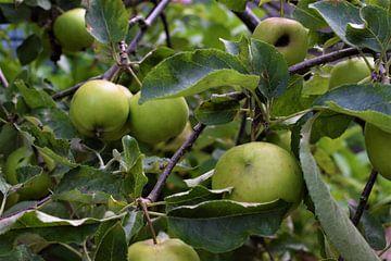 Appelboom von Beau Dorr