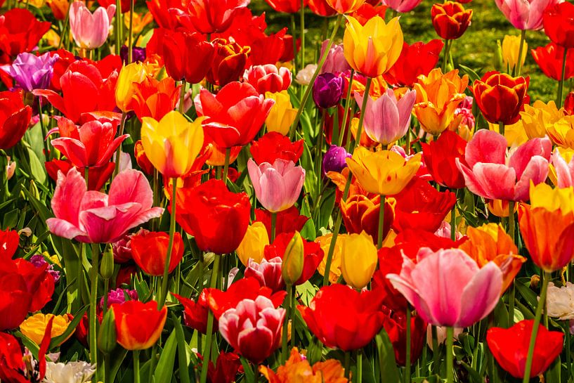 Tulips from Holland van Brian Morgan