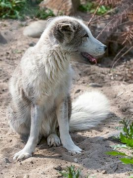 Polarfuchs : Tierpark Blijdorp von Loek Lobel