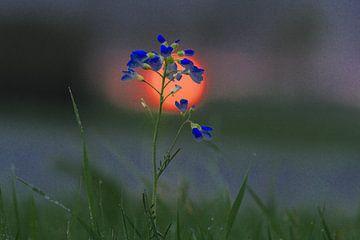 Pinksterbloem voor opkomende zon van Ab Donker
