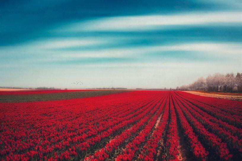 Field of red tulips van Dirk Wüstenhagen