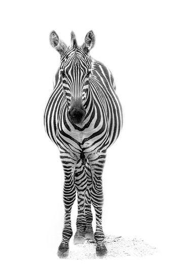 Zebrajong, zwart-wit (Dierenpark Emmen) van Aafke's fotografie