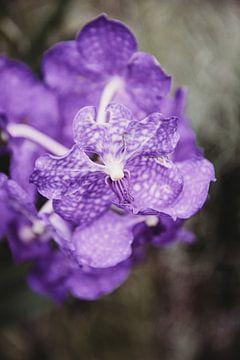 Lila, besondere Blume von Anke Kaal