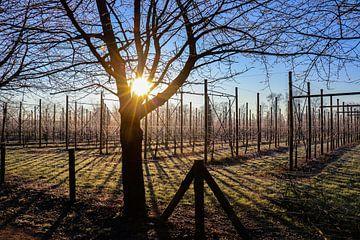 Ochtendzon schijnt over een kersenboomgaard op koude winterdag. van