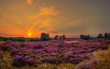 Heide veld van Peter Heins