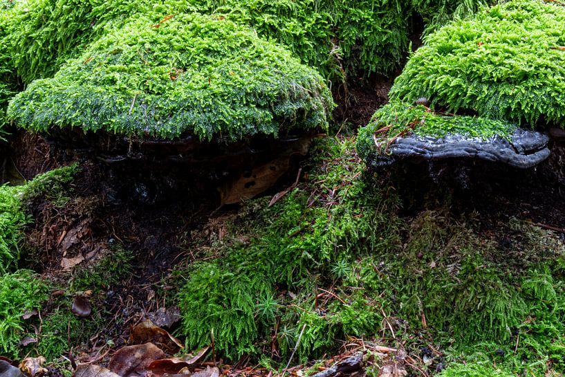 Mit Moos bedeckte Pilze. von Anjo ten Kate