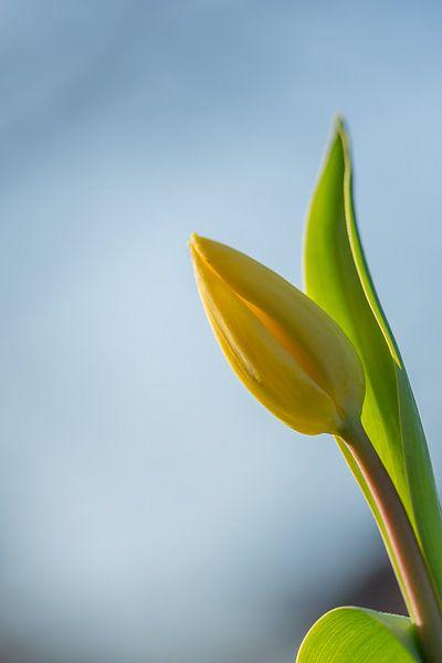 Gelbe Tulpe im goldenen Licht der untergehenden Sonne von John van de Gazelle