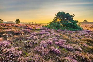 Goldene Stunde auf der Heide von Eelke Brandsma