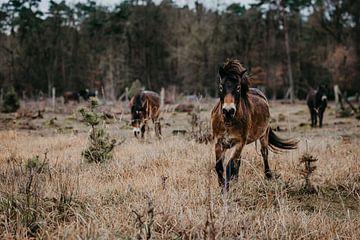 Wilde paarden in het natuurreservaat van de Zenne van Helena Schröder