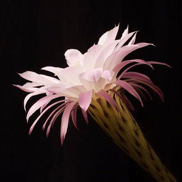 Bloem van de cactus van Anne Meyer