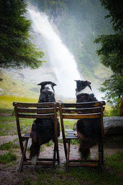 2 Stühle | 2 Border Collies von Pieter Bezuijen