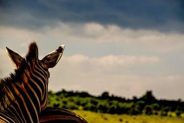 Zebra op de uitkijk van Kim de Vos  - Carpe Diem