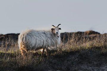 Schafe in den Dünen von Scheveningen von Anne Zwagers