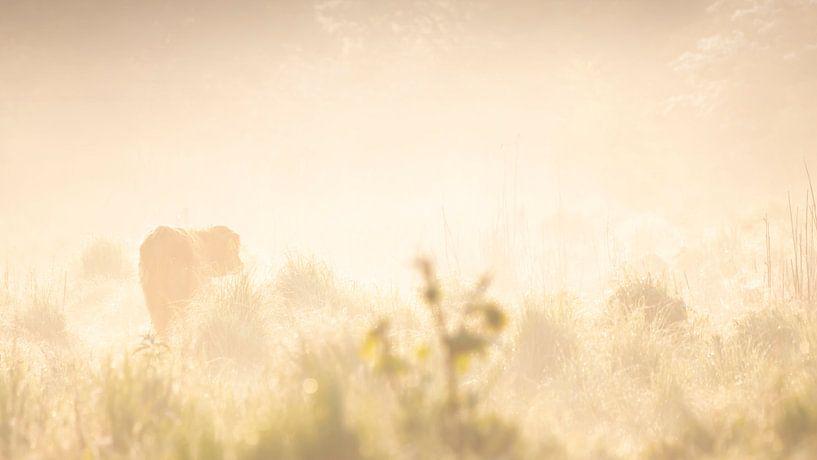 Schotse hooglander in de warme gloed van de zonsopkomst van Bas Ronteltap