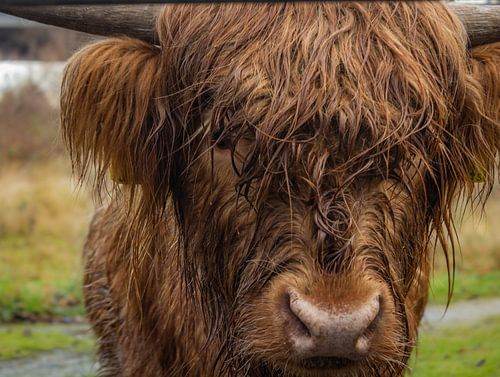 Look at me! | Schotse Hooglander closeup