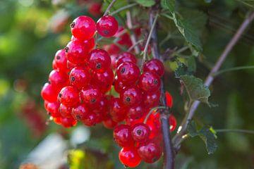 Reife rote Beeren im Garten von Ger Beekes