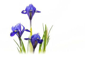 Iris-Harmonie - (Reticulata 'Harmonie') von Carola Schellekens