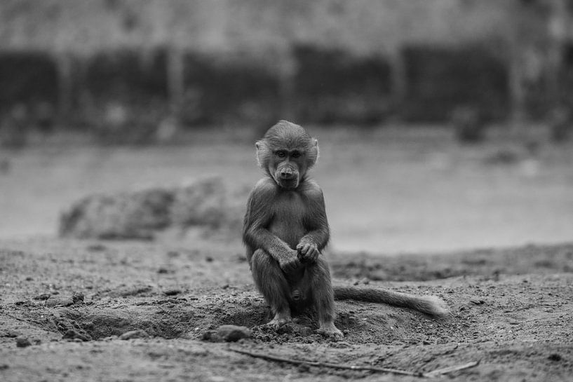 Jonge baviaan in Amersfoort van Kaj Hendriks