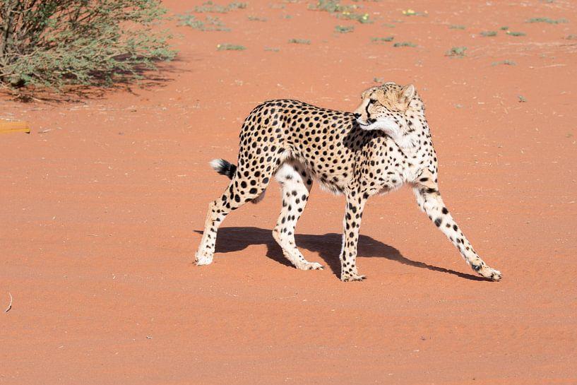 Cheetah in de Kalahari van Felix Sedney