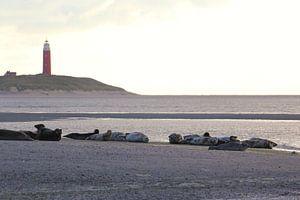 Zeehonden op Texel