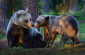 Bruine beer met jong (Nosey) van