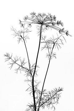 Dille | zwart -wit van Marianne Twijnstra-Gerrits