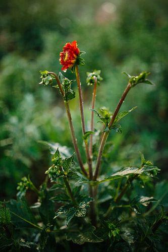 Rode Dahlia met waterdruppels