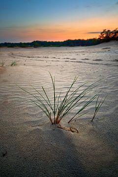 Grassprieten in het late zonlicht op de Zandverstuiving van Jenco van Zalk