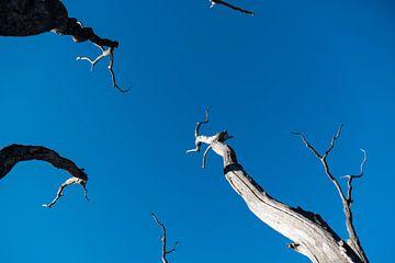 Strak blauwe lucht met dode bomen von Sense Photography