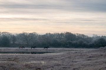 Exmoorpony's in Noordhollands Duinreservaat van Kim de Groot