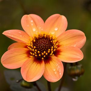 Flower with raindrops