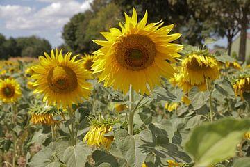 Zonnebloemenveld bij Cadier-en-Keer - Sunflower field at Cadier-en-Keer van Ton Reijnaerdts