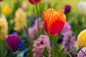Tulpe von Monique de Koning