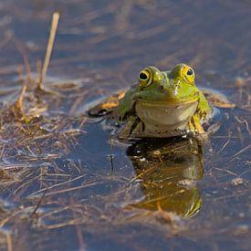 Portret van een groene kikker van Kristof Lauwers