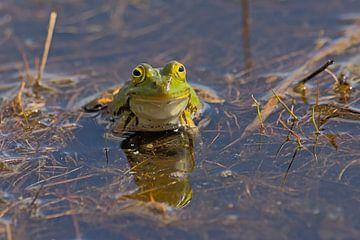 Porträt eines grünen Frosches von Kristof Lauwers