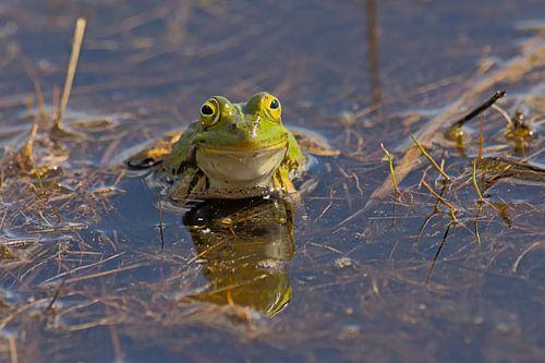 Portret van een groene kikker
