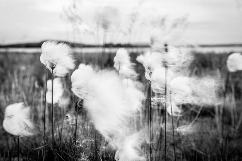 Dansen in de wind - veenpluis van Ellis Peeters