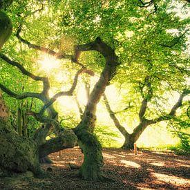 Süntelbuchen Wald von Oliver Henze