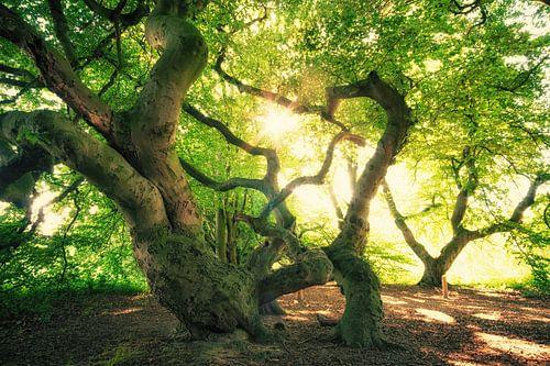 Süntelbuchen Wald
