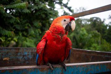 Roter Papagei Seitenansicht von Kimberley Riel