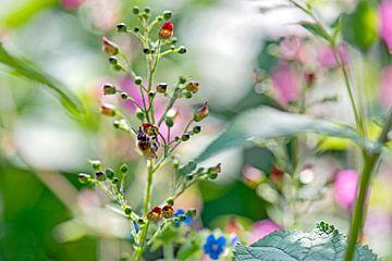 sierlijk bloeiend helmkruid  von Hanneke Luit
